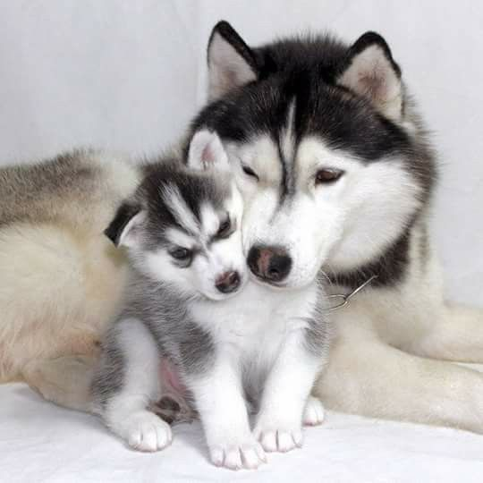 Visit Link Above To View Our Fabulous Husky Gifts Collection Cute Husky Siberian Husky Dog Dogs