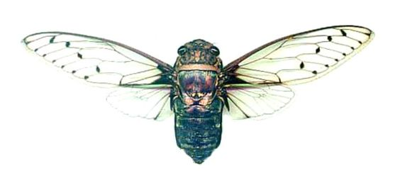 Supplies for your artworks - dried insects - :  Two Cicadidae  Macrotristia…