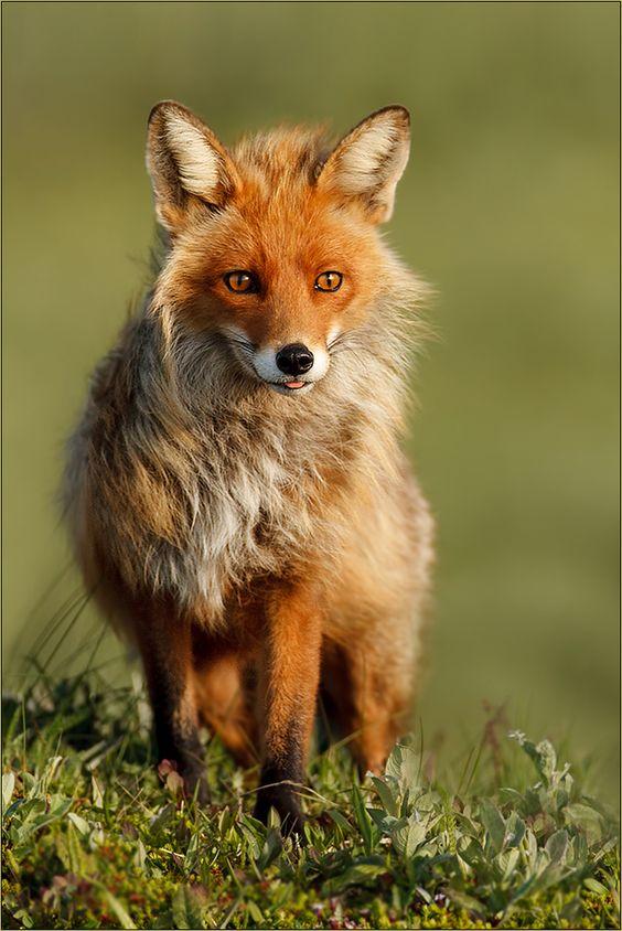 Füchse sind einfach absolut faszinierende, wunderschöne Tiere... (Quelle: Gabi Marklein FC)