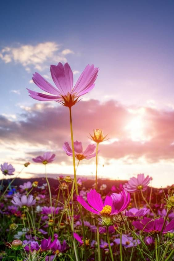 Best Time For Cosmos Blooming In Seoul 2020 When To See Rove Me Cosmos Flowers Cosmos Art Cosmos