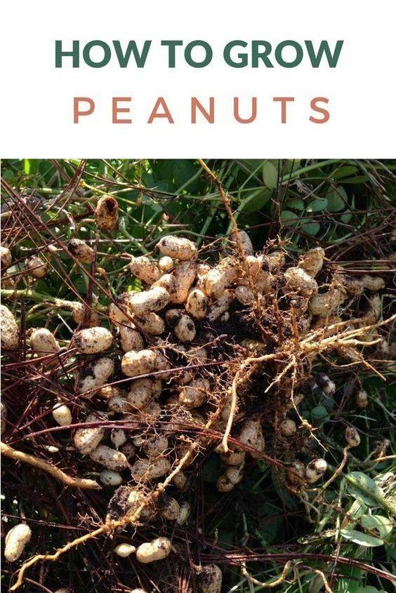 How Do You Grow Peanuts Ideas Food Garden Container Gardening Vegetables Indoor Vegetable Gardening