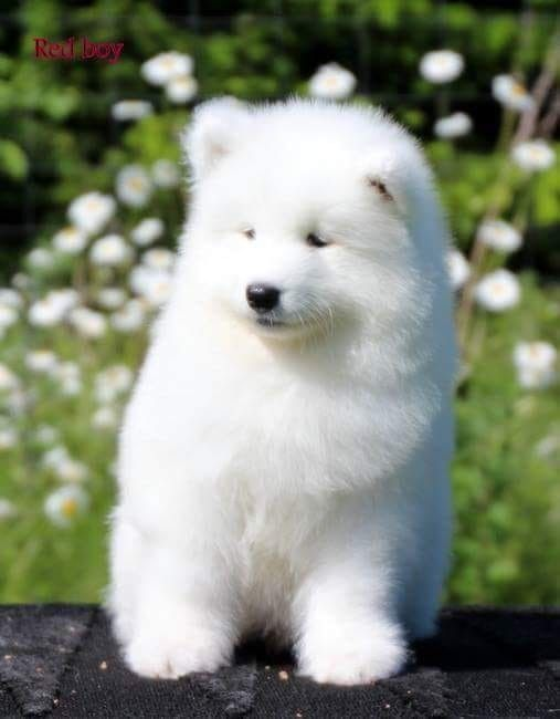 Pin By Amelia Charlemagne On Life Samoyed Dogs