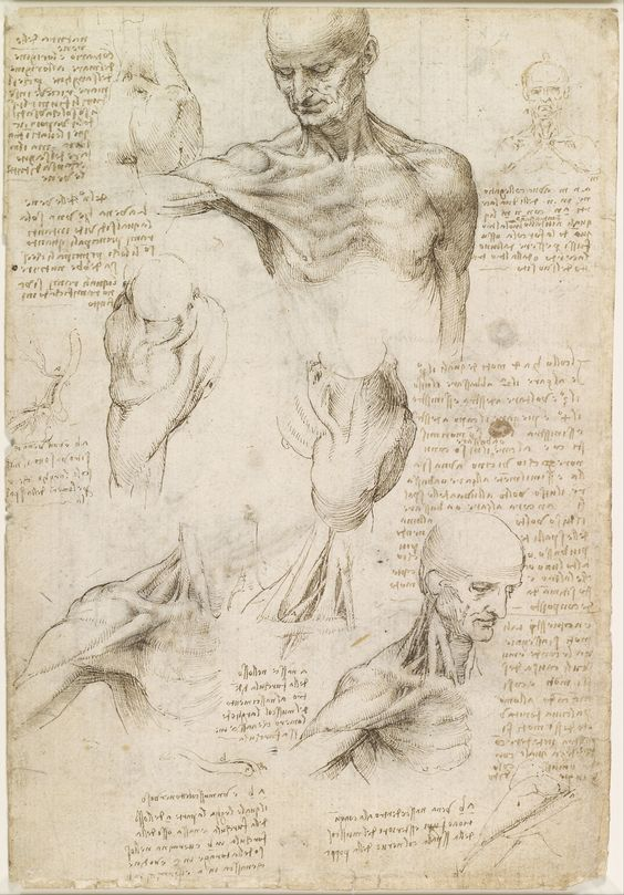 Leonardo da Vinci – The superficial anatomy of the shoulder and neck, c.1510-11; Pen and ink with wash, over black chalk | 29.2 x 19.8 cm | Royal Collection