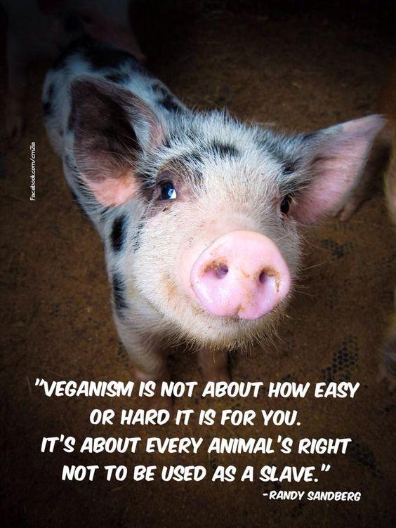 """Veganism is not about how hard it is for you. It's about every animal's right not to be used as a slave"" Pigs are beautiful and intelligent creatures. Watch ""Babe"" , learn to love pigs and get the pork off your fork. Go vegan:"