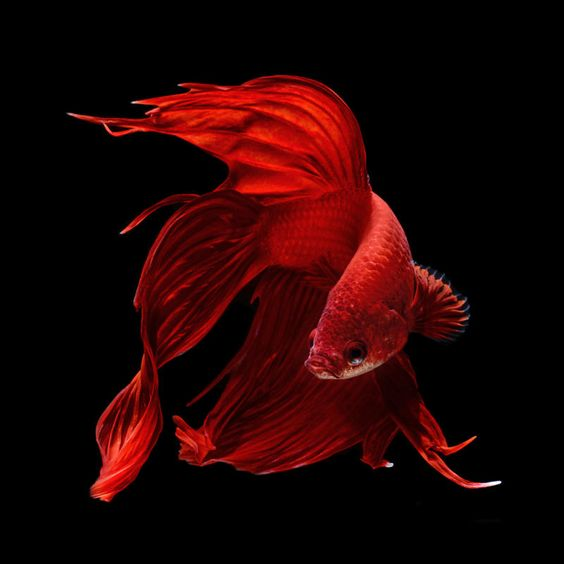 Stunning portraits of Siamese fighting fish--a gallery of photographs by Visarute Angkatavanich.  Red!