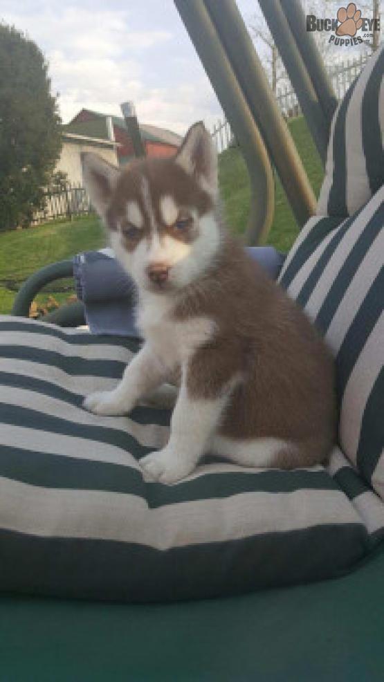 Bentley Siberian Husky Puppy For Sale In Baltic Oh Buckeye