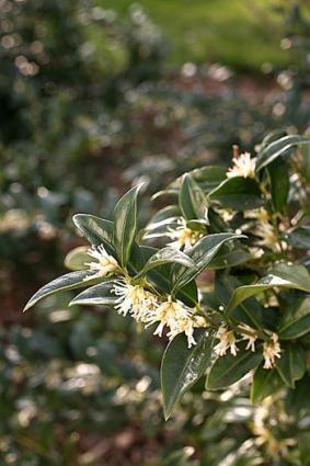 Sarcococca hookeriana © E. Brenckle - Rustica