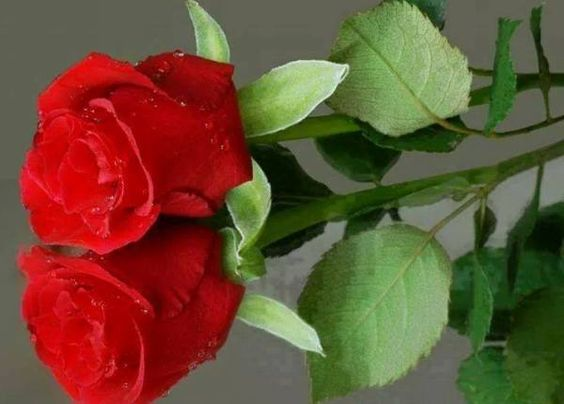 Wallpaper Single Red Rose Flower Water Drops 1920x1200 Hd: Rose Flower Pictures, Red Rose Flower And Flower Pictures
