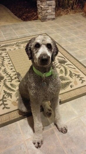 Handsome Big Grey Labradoodle