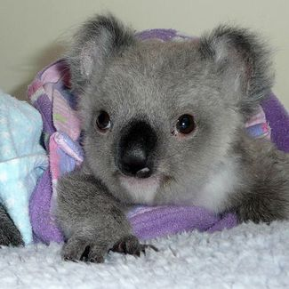 Koalas google and news on pinterest - Pics of baby koalas ...