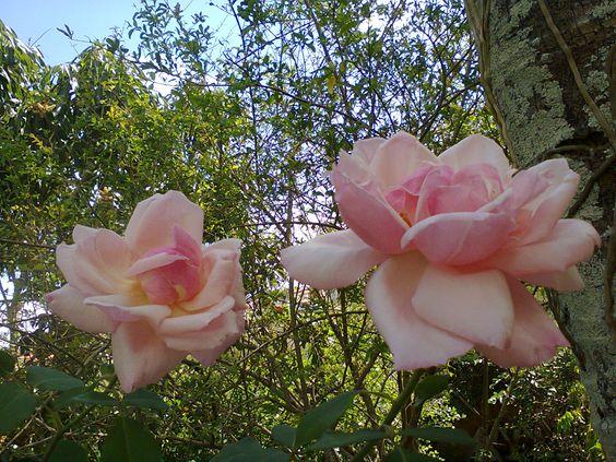 Rosa rainha