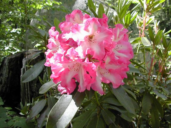 This plant is named: Consolini's Windmill.  It is a beautiful pink/white bloomer with large leaves.