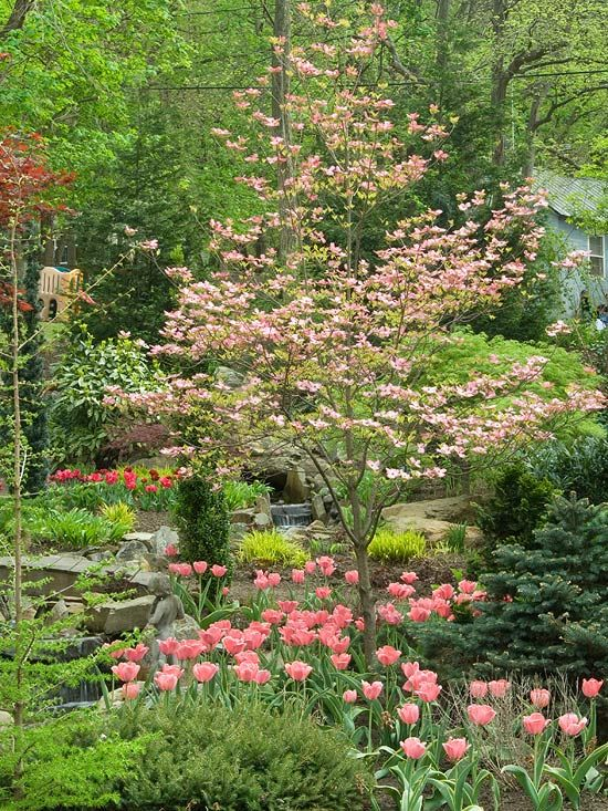 FLOWERING DOGWOOD. Native tree to North America. It bears pink or white springtime flowers, bright red fruits in late summer and purple-red fall foliage. Does well in partial shade. Grows 10 to 25 feet tall & wide, depending on variety. Zones: 5-8.