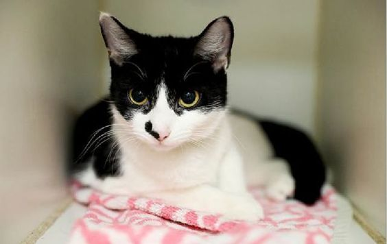 """PACER - A1077414 - - Brooklyn  Please Share:   ***TO BE DESTROYED 07/03/2016*** A volunteer writes, """"I'm not sure that Pacer quite lives up to her name, if a 'pacer' is the leader of the pack who sets the pace for the rest to follow. This Pacer is a petite young lady with a touch of shyness in her nature, and it seems to me that she follows the beat of her own drum, not worrying about who's ahead or behind her. Pacer is pert and alert and takes measure"""