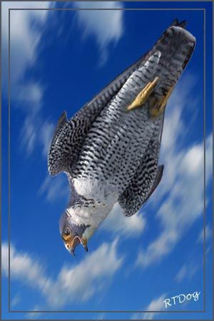 Fastest creature on the planet! A Peregrine Falcon in a stoop (dive) can reach speeds estimated at over 200 miles per hour.
