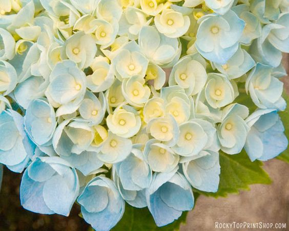 Blue Hydrangea Flower Art Print  - Flower Photo - Floral Photography Print - Flower Wall Art - Flower Home Decor