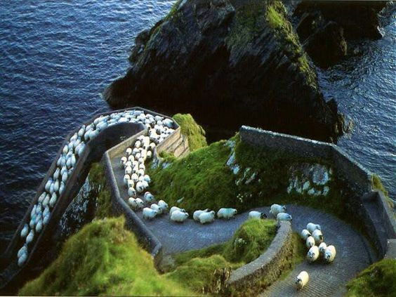 A parade of sheep in Ireland
