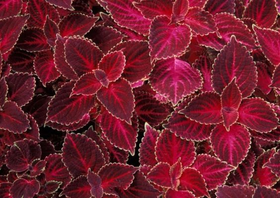 Coleus Seeds - Velvet Red,very Showy,Easy To Grow,Shade Loving Plant! #Unbranded