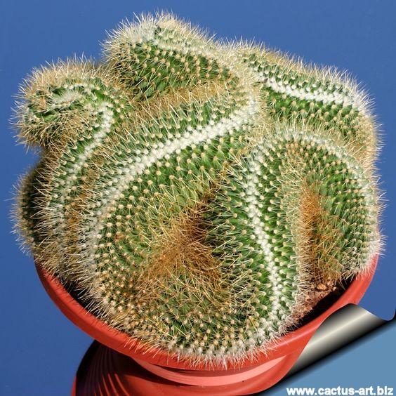 Mammillaria Pringlei--Brain Cactus: