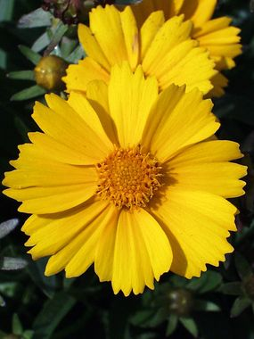 "Coreopsis 'Goldfink' - 10"" (Plant 16"" apart); Blooms Early Summer to Fall;   Full Sun; Zones: 4-9; Soil: Normal, Sandy; dry tolerant; $6.95, www.bluestoneperennials.com"