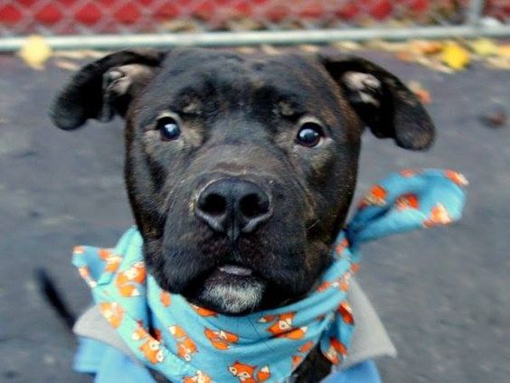 SAFE --- SUPER URGENT - 12/05/14 Manhattan Center   My name is TIGER. My Animal ID # is A1021603. I am a male br brindle pit bull mix. The shelter thinks I am about 1 YEAR   I came in the shelter as a OWNER SUR on 11/25/2014 from NY 10035, owner surrender reason stated was NO TIME. .  Main thread: https://www.facebook.com/photo.php?fbid=912062422139971