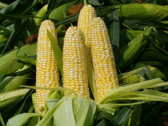 There is nothing like a fresh (just picked) ear of sweet corn #GEFreshFL