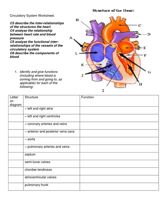 Circulatory System FREE Here is a free circulatory system – Circulatory System Diagram Worksheet