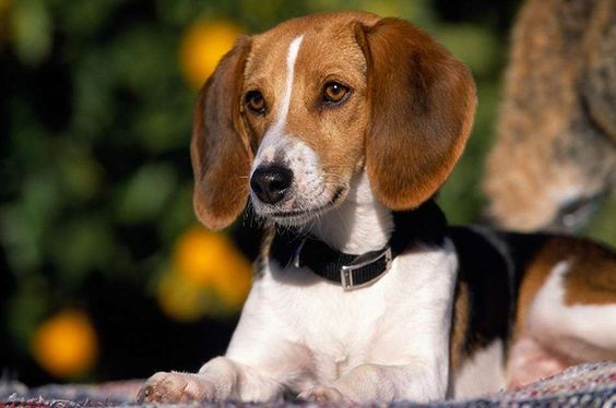READ | American Foxhound Dogs and Puppies | September 6, 2016
