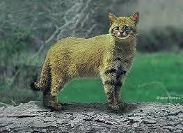 El colocolo, gato de los pajonales o gato montés (Leopardus colocolo)