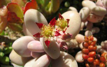 Graptopetalum amethystinum – Lavender Pebbles