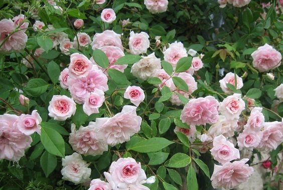 cecile brunner rose rose ancienne 39 c cile br nner climbing 39 photo de roses anciennes. Black Bedroom Furniture Sets. Home Design Ideas