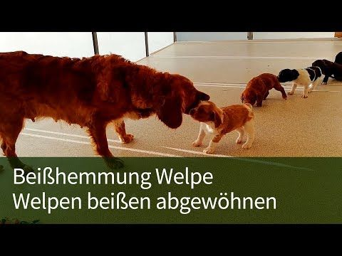 Beisshemmung Welpe Welpe Beisst Welpen Beissen Abgewohnen Youtube Welpen Hunde Welpen Hunde