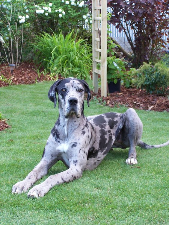 Wonder if our pup will grow up to look a lot like this guy...Gorgeous Merle #Great #Dane
