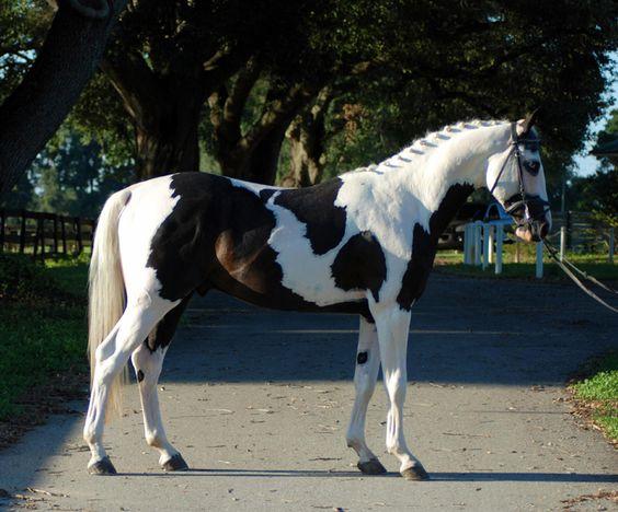 SS Stallone - Black pinto tobiano Oldenburg stallion, 2008 ...