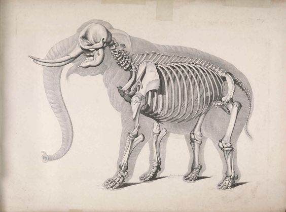 African Elephant Skeleton (Genus Loxodonta). #SciArt by Eduard d'Alton for Christian Heinrich Pander, Die Vergleichende Osteologie (1821-38). Biodiversity Heritage Library: http://biodiversitylibrary.org/page/40170304  #PageFrights #Halloween #Skulls #Bones #Skeletons