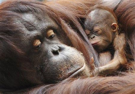 como vivem os orangotangos - Pesquisa Google