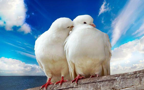 Animaux - Oiseau - Lovebird - Pigeons - Blanc - Colombe - Mignon Fond d'écran