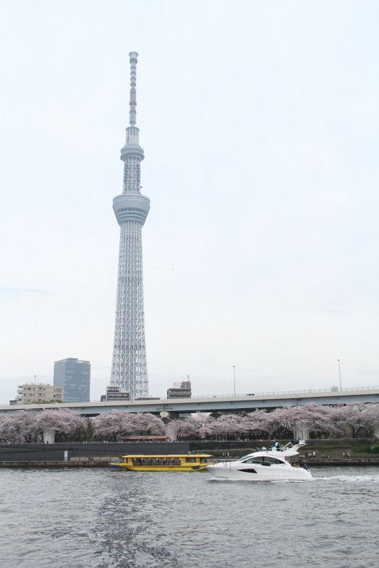 501:「墨田川を遊覧船で渡りました。 桜並木がとても綺麗でした。 他の船やモーターボートとも、行きかいました。」@隅田公園