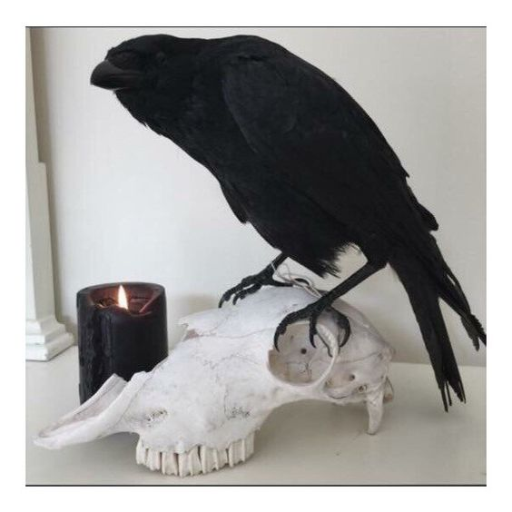 Real Taxidermy Crow Sheep skull ($338) ❤ liked on Polyvore featuring home, home decor, skull home decor, log home decor and skull home accessories
