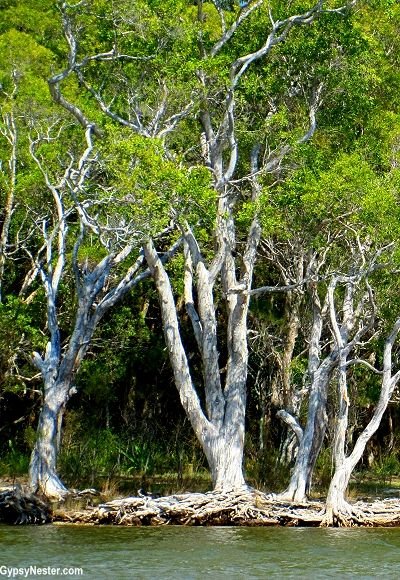 """Amazing """"tree root islands"""" in the Australian Everglades! Did you know that Australia had everglades? We didn't until we kayaked them!"""
