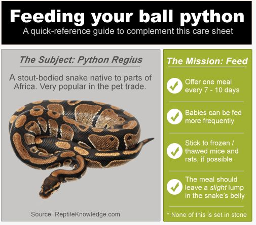 InfoGraphic: Ball Python Feeding | Reptile | Pinterest ...