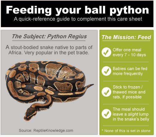 InfoGraphic: Ball Python Feeding | Reptile | Pinterest ...