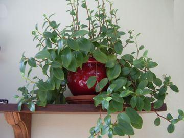 Plante retombante identification d 39 une plante retombantes feuilles vertes et tige id e - Plante d interieur tombante ...