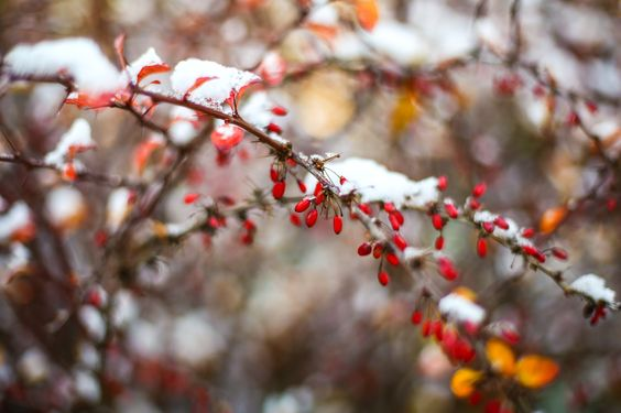 Photograph Snowy Berries by Kimber Leigh on 500px