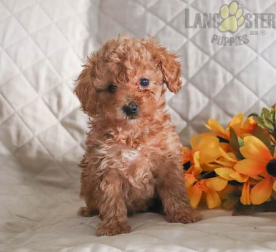Alex Poodle Toy Puppy For Sale In Lititz Pa In 2020 Toy Puppies For Sale Puppies For Sale Toy Poodle