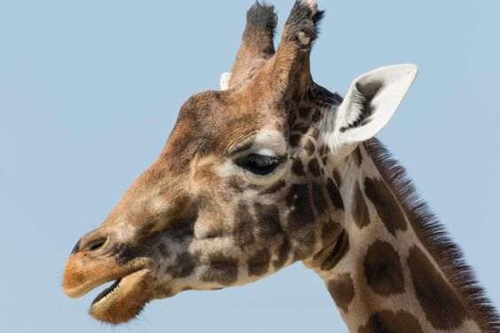Giraffe pictured on a day out at Flamingo Land,North Yorkshire ©Steve Gill from Photocrowd.com
