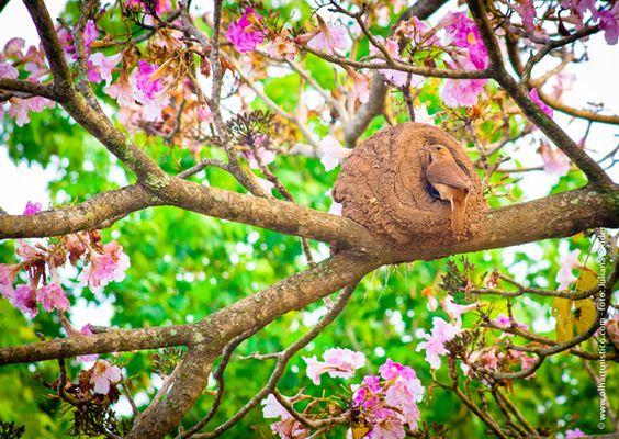 joao-de-barro-fez-seu-ninho-em-cerejeira-agora-em-flor.