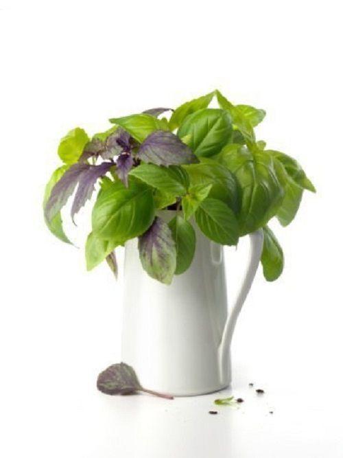 Базилик  Базилик — не только ароматная приправа, но и лекарство от инфекций.