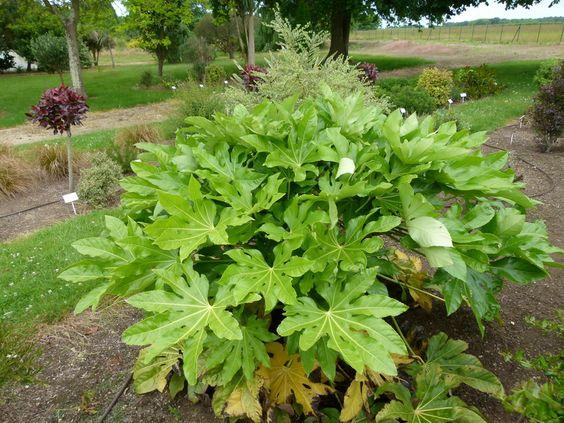 FATSIA japonica : beau spécimen de plusieurs années.