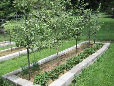 Espalier apple trees and strawberries in narrow  bed